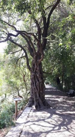 Der Wunschbaum im Botanischen Garten Montpellier